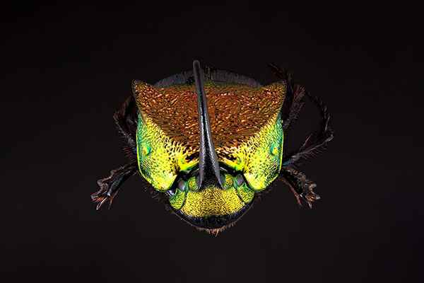 Image of Rainbow Scarab