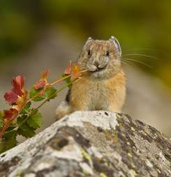Banner image for Counting Pikas in a Population