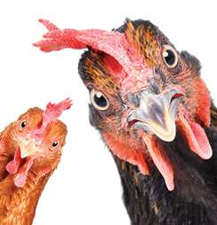 Banner image for Educational Chicken Prep